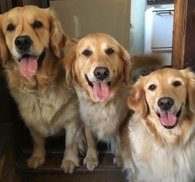 Golden Retrievers — Blogs, Pictures, and more on WordPress